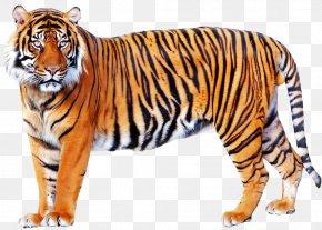 Cartoon Tiger - Lion Felidae Big Cat Clip Art PNG