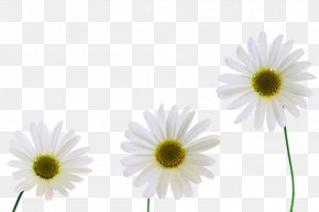 Three Yellow Chrysanthemum Picture Material - Chrysanthemum Xd7grandiflorum Carnation Oxeye Daisy PNG