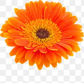 Flower Petals - Transvaal Daisy Stock Photography Flower Marigold White PNG