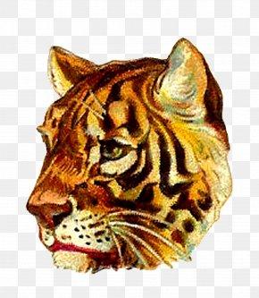 Tiger - Tiger Lion Whiskers Felidae Cat PNG