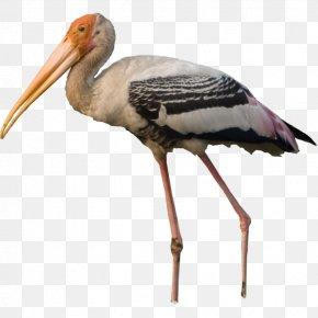 Bird - White Stork Bird Pelican Crane PNG