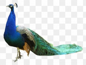 Peacock - Bird Peafowl PNG