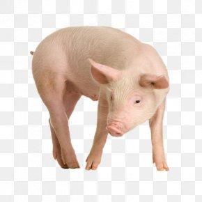 Pig Image - Miniature Pig Babirusa Javan Warty Pig Common Warthog PNG