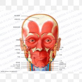 Anterior Triangle Of The Neck Muscle Head And Neck Anatomy Human Body PNG