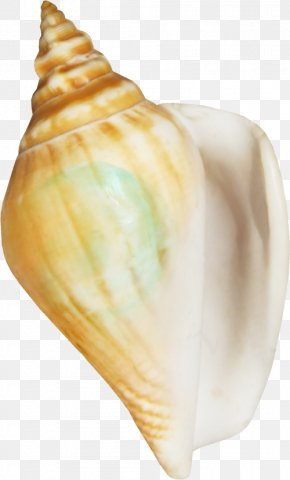 Shell - Seafood Seashell Conchology Clip Art PNG