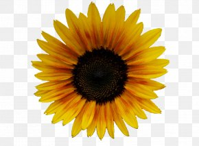 Yellow Background - Common Sunflower Amazon.com Floristry Sunnywoods Florist PNG