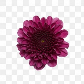 Flower - Transvaal Daisy Chrysanthemum ×grandiflorum Cut Flowers Plant Stem PNG
