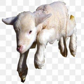 Sheep - Goat Sheep Cattle Caprinae Livestock PNG