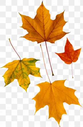 Autumn Leaf - Red Maple Autumn Leaf Color PNG