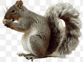 Sky,squirrel - Fox Squirrel Eastern Gray Squirrel Tree Squirrel PNG