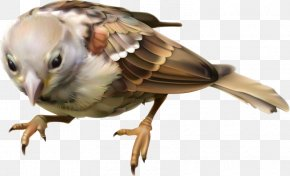 Hand Drawn Sparrow - Beak Fauna Feather Wing Wildlife PNG