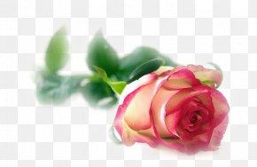 Flower - Flower Rainbow Rose Garden Roses Blossom PNG