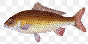 Aquatic Animal - Common Carp Goldfish Tilapia PNG