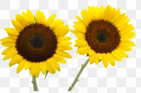 Sunflower - Two Cut Sunflowers Common Sunflower Petal Yellow PNG