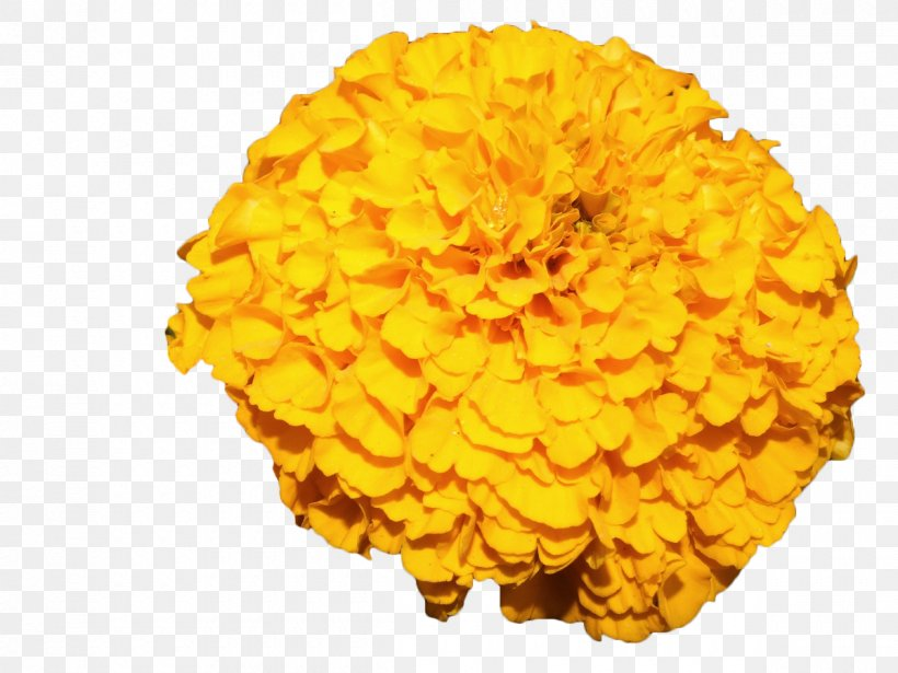 Mexican Marigold Flower Yellow, PNG, 1200x900px, Mexican Marigold, Annual Plant, Calendula, Calendula Arvensis, Calendula Officinalis Download Free
