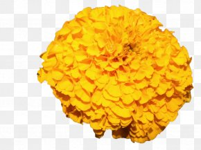 Yellow Marigold - Mexican Marigold Flower Yellow PNG