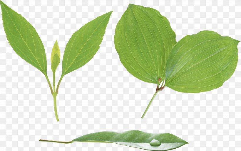 Stem-and-leaf Display Plant Stem Xylem, PNG, 3504x2194px, Leaf, Autumn Leaf Color, Color, Grass, Green Download Free