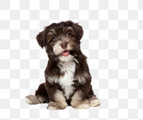 Cute Dog - Havanese Bichon Frise Yorkshire Terrier Puppy Cat PNG