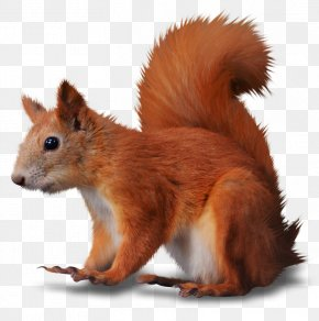 Ze - Rodent Fox Squirrel Tree Squirrel Red Squirrel Animal PNG