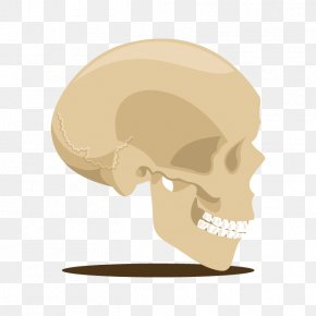 Vector Skull Head Skeleton - Skull Skeleton U9ab7u9ac5 Head PNG