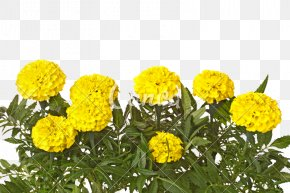 Marigold - Mexican Marigold Yellow Flower White Leaf PNG