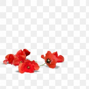 Floating - Adelaide Poppy Armistice Day Flower Desktop Wallpaper PNG
