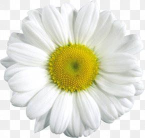 Camomile Image, Free Flower Picture - Common Daisy Clip Art PNG
