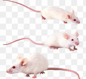 Mouse, Rat Image - Hamster Gerbil Rat Sigmodontinae Mouse PNG
