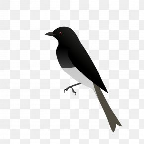 Bird - American Crow Eurasian Magpie Bird Common Raven Drongos PNG