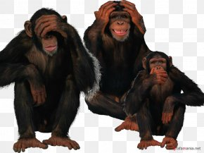Old World Monkey Common Chimpanzee - Monkey Cartoon PNG