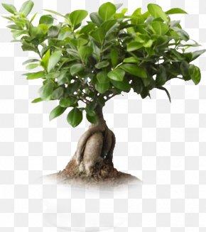 One Plant - Saint Petersburg Ficus Microcarpa Ficus Retusa Weeping Fig Bonsai PNG