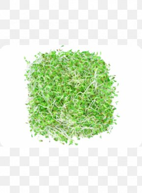 Alfalfa - Sprouting Alfalfa Broccoli Sprouts Seed Vegetable PNG