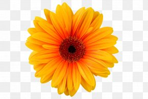 Transvaal Daisy Chrysanthemum Yellow Cut Flowers PNG