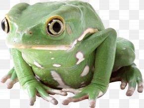 Frog - Frog PNG