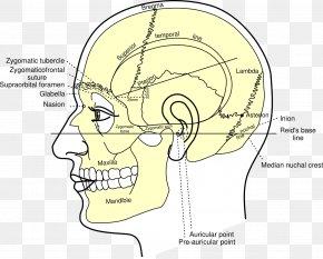 Skull - Gray's Anatomy Skull Nasion Head And Neck Anatomy PNG