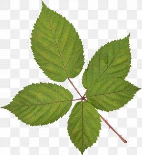Green Leaves - Leaf Vecteur Branch PNG