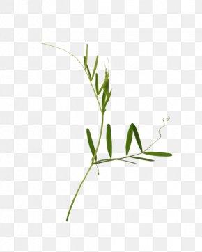 Common Yarrow Medicinal Plants - Twig Plant Stem Grasses Leaf Font PNG
