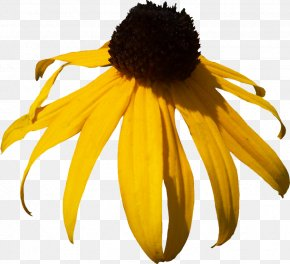 Yellow Daisy Pictures - Blackeyed Susan Clip Art PNG