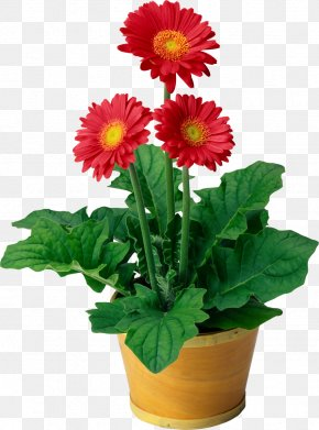 Pot Plant - Flowering Plant Flowering Plant Transvaal Daisy Houseplant PNG
