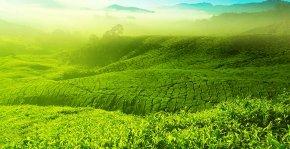 Tea Garden - Charleston Tea Plantation Malaysia Green Tea Tea Garden PNG
