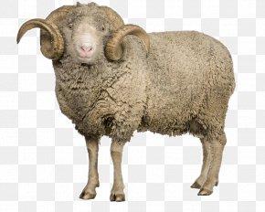 Sheep - Arles Merino Sheep Goat Clip Art PNG