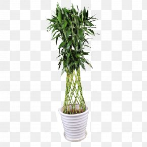 Flower Pot - Lucky Bamboo Tropical Woody Bamboos Tree Image PNG
