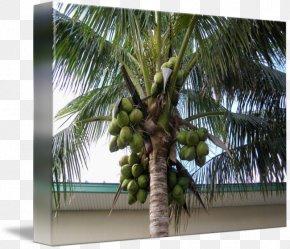 Green Coconut - Arecaceae Asian Palmyra Palm Attalea Speciosa Coconut Tree PNG