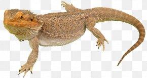 Bearded Dragon Photos - Agama Lizard Common Iguanas PNG