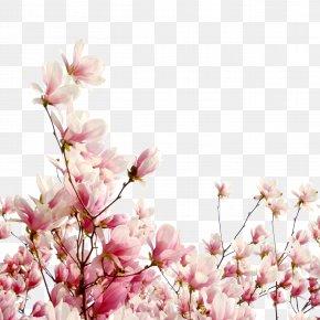 Cherry Tree Branch - Cherry Blossom Flower Petal Cerasus PNG