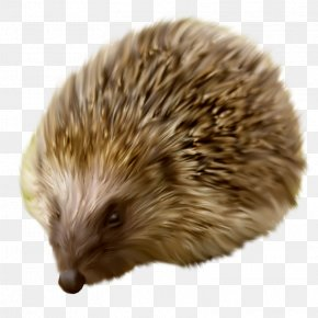 Animals Hedgehog - Hedgehog Clip Art PNG