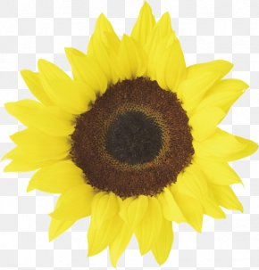 Sunflower - Common Sunflower Free Content Clip Art PNG