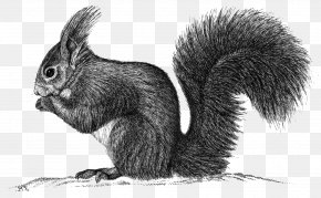 Squirrel - Fox Squirrel Domestic Rabbit Hare Whiskers PNG