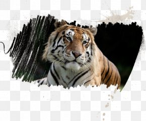 Tiger - Sriracha Tiger Zoo T.I.G.E.R.S. Preservation Station Whiskers Leopard PNG