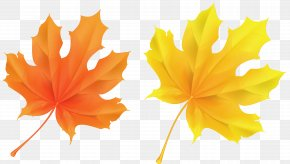 Transparent Yellow And Orange Leaves Picture - Autumn Leaf Color Orange Clip Art PNG